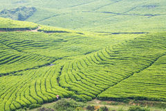 Die große Tee-Plantage Stockbild