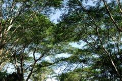 Die großen Bäume stockbilder
