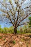 Die großen Niederlassungen des Baums stockfoto
