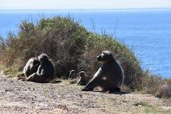 Die großen Paviane, die am Straßenrand auf der Kap-Halbinsel sitzen, bereisen in Cape Town, Südafrika Lizenzfreie Stockfotos