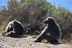 Die großen Paviane, die am Straßenrand auf der Kap-Halbinsel sitzen, bereisen in Cape Town, Südafrika Stockbilder