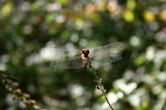 Die großen transparenten Flügel der roten Libelle Lizenzfreie Stockfotos