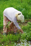 Die Großmutter zerreißt ein Gras in einem Garten Lizenzfreie Stockbilder