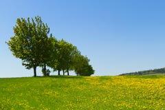 Die Gruppe der Bäume und der Löwenzahnwiese Stockfoto
