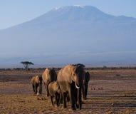 Die Gruppe geht auf Savannenelefanten auf Hintergründen Kilimanjaro afrika kenia tanzania serengeti Maasai Mara Lizenzfreie Stockfotografie