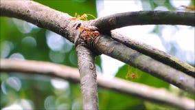 Die Gruppe von den roten Ameisen, die auf einen Zweig des Mangobaums gehen stock footage
