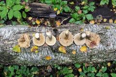 Die Gruppe von Pilzbirke Bolete wird in einer Reihe auf dem Stamm einer gefallenen Birke ausgebreitet Stockfotografie