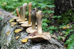 Die Gruppe von Pilzbirke Bolete wird in einer Reihe auf dem Stamm einer gefallenen Birke ausgebreitet Lizenzfreies Stockfoto