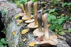 Die Gruppe von Pilzbirke Bolete wird in einer Reihe auf dem Stamm einer gefallenen Birke ausgebreitet Stockfotos