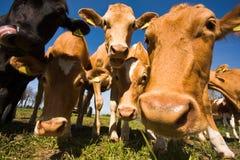 Die Guernsey-Kuh Stockbilder