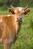 Die Guernsey-Kuh Stockfotografie
