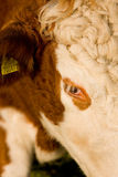 Die Guernsey-Kuh Stockfoto