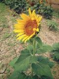 Die gute Sonnenblume Lizenzfreie Stockbilder