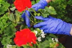 Die Hände der Frauen in den blauen Handschuhen sind verpflanzte schöne rote Pelargonienblumen im Garten lizenzfreies stockfoto