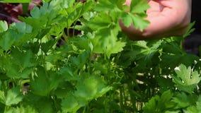 Die Hände der Frauen zupfen grüne Petersilie von den Gartenbetten stock video footage