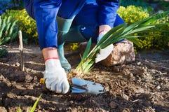 Die Hände des Landwirts, die eine Iris pflanzen Stockfotos