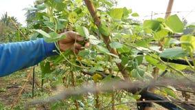 Die Hände des Landwirts frisches grünes Gemüse in der ländlichen Landschaft erntend bewirtschaften stock footage
