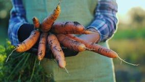 Die Hände des Landwirts halten einige Karotten Bioprodukte vom Feld stockfotografie