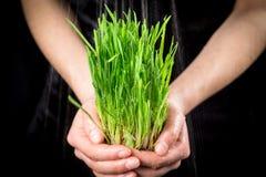 Die Hände des Mädchens, die grünes Gras unter Regen halten stockfoto