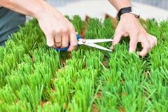 Die Hände des Mannes, die das grüne Gras mit Scheren, der Gärtner schneiden, schneidet das Gras, halten Mannhände Scheren und lizenzfreie stockfotos