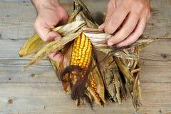 Die Hände des Mannes, die trockenem Mais abziehen lizenzfreie stockbilder