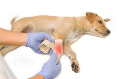 Die Hände des Tierarztes, die einen Verband auf dem Bein des Welpen einwickeln Stockbild