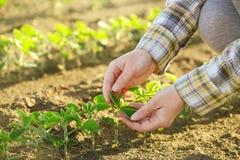 Die Hände des weiblichen Landwirts auf dem Sojabohnengebiet, verantwortliche Landwirtschaft Lizenzfreie Stockfotografie