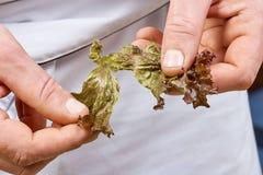 Die Hände, die Kopfsalat addieren, verlässt in Schüssel mit Salat, Nahaufnahme Stockfotos