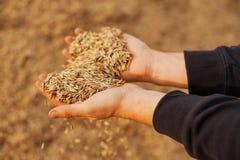 Die Hände einer Landwirtnahaufnahme, die eine Handvoll Weizenkörner hält Kopieren Sie Platz Landwirtschaftliche Wiese Reiches Ern lizenzfreies stockbild