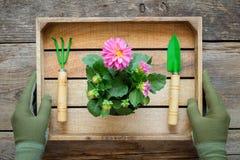Die Hände eines Gärtners in den Handschuhen halten einen Kasten mit einer Dahlie in einem Blumentopf, -schaufel und -rührstange stockfotos