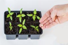 Die Hände eines Landwirts, der den jungen Grünpflanzen Düngemittel gibt Lizenzfreie Stockfotografie