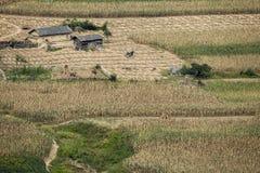 Die Häuser des Landwirts mitten in Maisfeld Stockfotografie