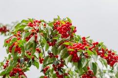 Die höchsten Niederlassungen des Kirschbaums und der Kirschen Lizenzfreie Stockfotografie