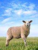 Die hübschen Schafe Stockfotos