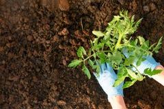 Die H?nde der Frau, die Tomatens?mlinge im Gew?chshaus pflanzen Organisches Gartenarbeit- und Wachstumskonzept stockbilder