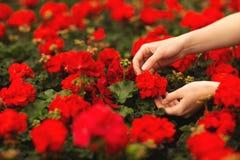 Die H?nde der Frauen halten sch?ne rote Pelargonienblumen im Garten lizenzfreie stockbilder