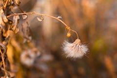 Die haarigen Samen des Herbstes Stockfotos