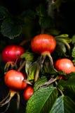 Die Hagebutten, die auf Rosenbusch reifen, erleichterten durch Herbstsonne Lizenzfreie Stockfotografie