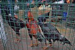 Die Hahnkämpfer für Verkauf auf dem Sonntags-Markt in Kaili in Guizhou-Provinz in China stockbilder