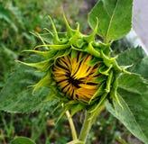 Die halb offene Sonnenblume unter den ersten Tropfen von Regenmakro stockfotografie