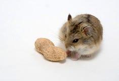 Die Hamster essen Erdnüsse Stockfoto