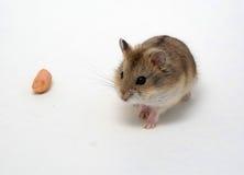 Die Hamster essen Erdnüsse stockfotos