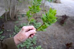Die Hand der alten Frau berührte eine Niederlassung mit grünen Blättern lizenzfreie stockbilder