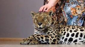 Die Hand der Frau, die einen Leoparden streicht stock video