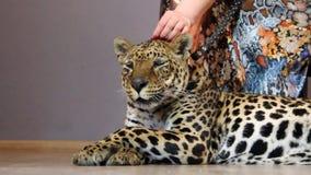 Die Hand der Frau, die einen Leoparden streicht stock footage