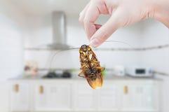 Die Hand der Frau, die Schabe auf Küchenhintergrund hält Stockfotos