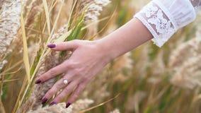 Die Hand der Frau mit der schönen Maniküre, die draußen flaumiges Gras Pampas oder REEDbusch auf dem Gebiet streicht Mädchen lieb stock footage