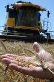 Die Hand der Männer hält das Ohr des Weizens lizenzfreie stockbilder
