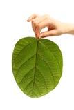 Die Hand des Kindes, die ein großes grünes Blatt lokalisiert auf Weiß hält Lizenzfreies Stockbild