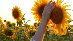 Die Hand des Mädchens berührt die Sonnenblumenblumen auf dem Gebiet Nahaufnahme stock video